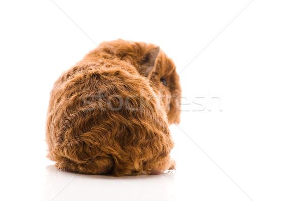 Bebek kobay arka plan domuz komik genç Stok fotoğraf © joannawnuk