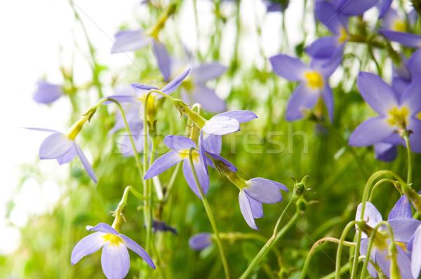 Stock fotó: Virágmintás · tavaszi · virágok · közelkép · tavasz · hó · háttér