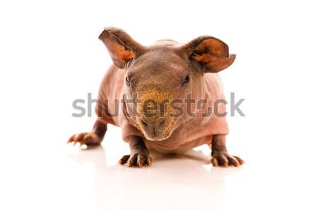 skinny guinea pig Stock photo © joannawnuk