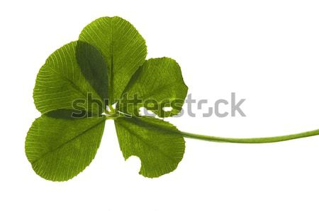 Five Leaf Clover isolated on the white background Stock photo © joannawnuk