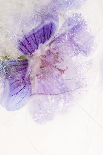 Frozen flowers. blossoms in the ice cube Stock photo © joannawnuk
