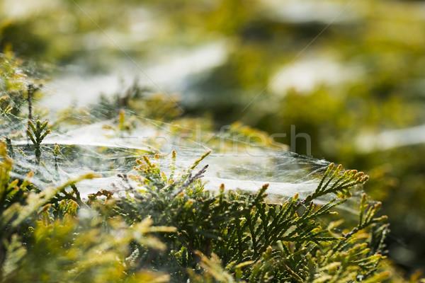 Ochtend spinneweb bloem water gras bos Stockfoto © joannawnuk