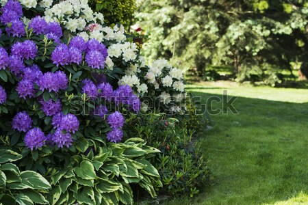 Two blooming rhododendron Stock photo © joannawnuk