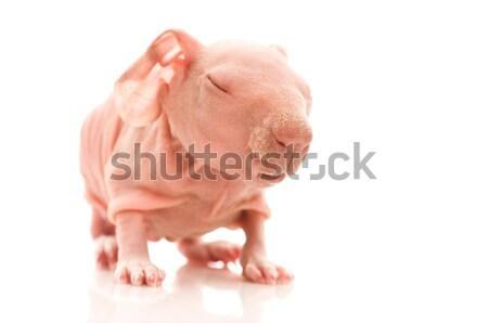 スキニー モルモット 白 動物 耳 ピンク ストックフォト © joannawnuk