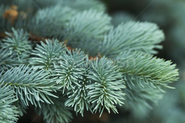Azul ataviar verde árbol forestales Foto stock © joannawnuk