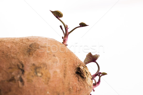 Tatlı patates beyaz gıda bebek doğa Stok fotoğraf © joannawnuk