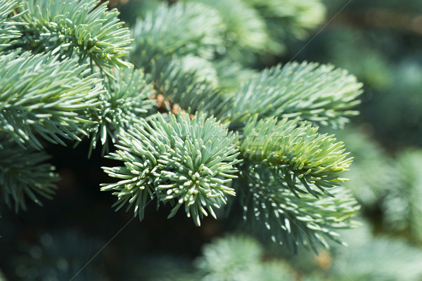 Blue spruce branches on a green background Stock photo © joannawnuk