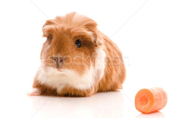 baby guinea pig Stock photo © joannawnuk