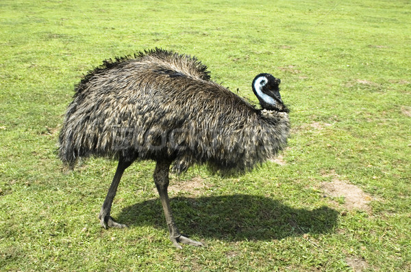 emu Stock photo © joannawnuk