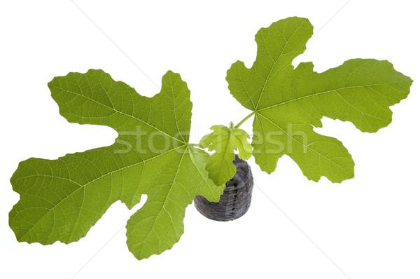 spring plant. fig Stock photo © joannawnuk