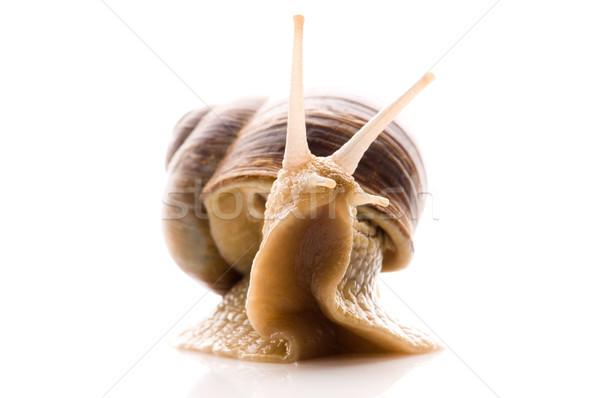Snail Stock photo © joannawnuk