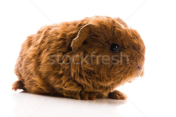 baby guinea pig isolated on the white Stock photo © joannawnuk