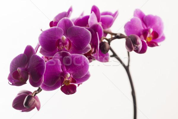 Foto d'archivio: Viola · orchidea · isolato · bianco · fiori · rosa