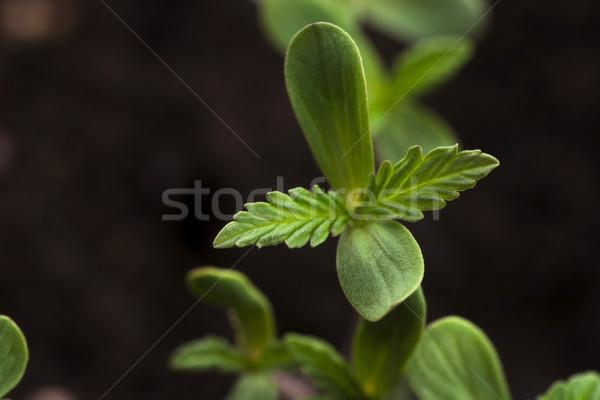 Hajtás cannabis fű bokor drog növénytan Stock fotó © joannawnuk