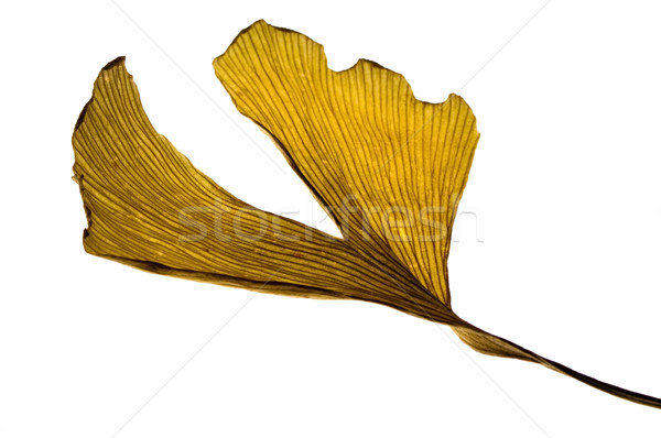 Stock photo: herbs - dried gingko biloba leaf