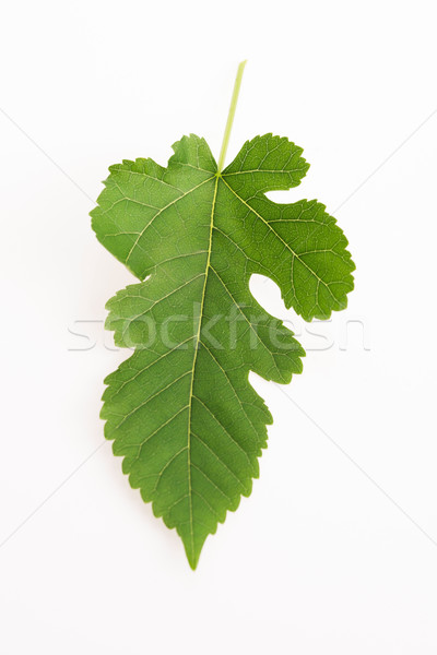 Close-up view of Mulberry leaf over white background Stock photo © joannawnuk