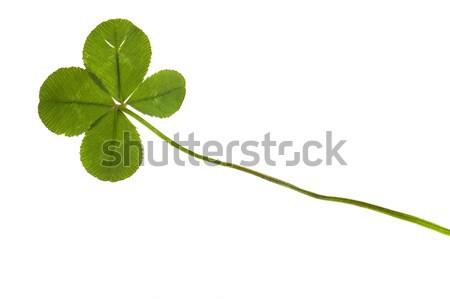 Four Leaf Clover isolated on the white background Stock photo © joannawnuk