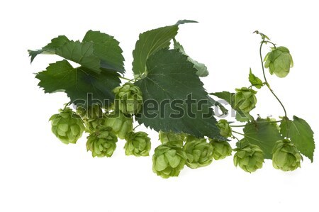 Stock photo: Detail of hop cone and leaves on white background