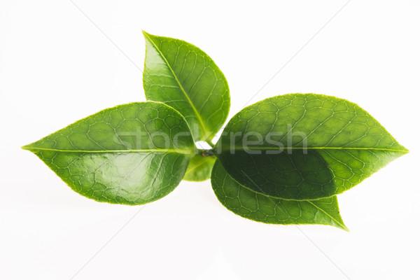 зеленый чай лист изолированный белый лет зеленый Сток-фото © joannawnuk