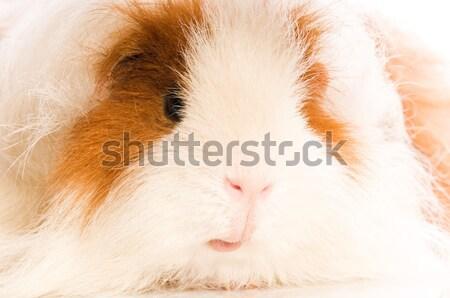 морская свинка фон красный свинья смешные молодые Сток-фото © joannawnuk