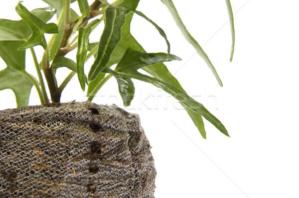 spring plant. ivy Stock photo © joannawnuk