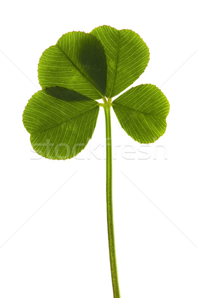 Four Leaf Clover isolated on the white background Stock photo © joannawnuk