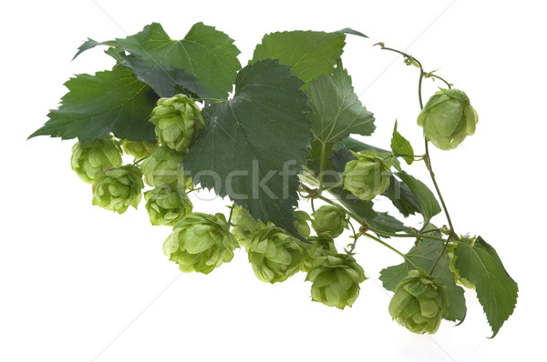 Detail of hop cone and leaves on white background  Stock photo © joannawnuk