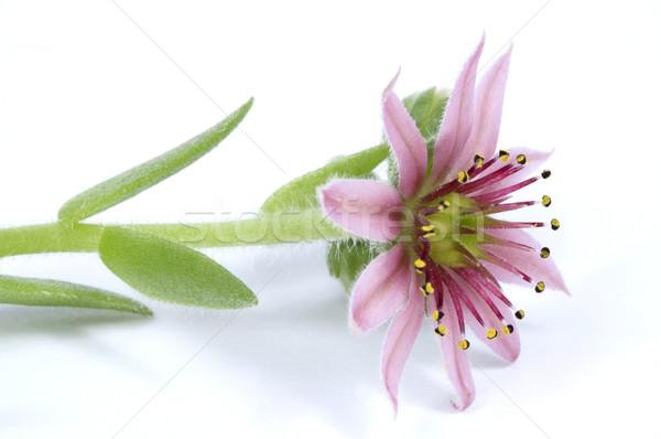Rózsaszín virág nedvdús fény levél szépség fiatal Stock fotó © joannawnuk