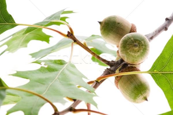 Eikel vruchten bladeren geïsoleerd witte bos Stockfoto © joannawnuk