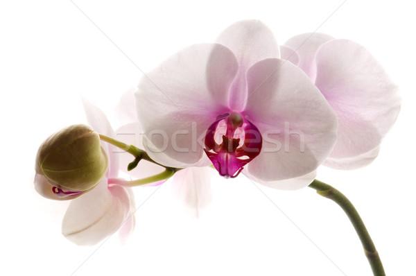 White orchid on white Stock photo © joannawnuk
