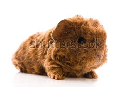 Сток-фото: ребенка · морская · свинка · изолированный · белый · фон · свинья