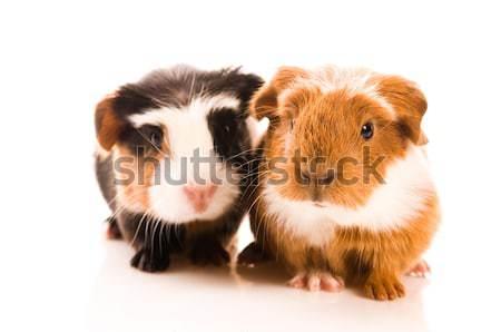 Egyenlítői-guinea randevú