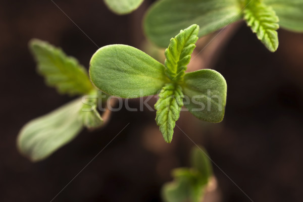 Sprout of hemp cannabis marihuana Stock photo © joannawnuk