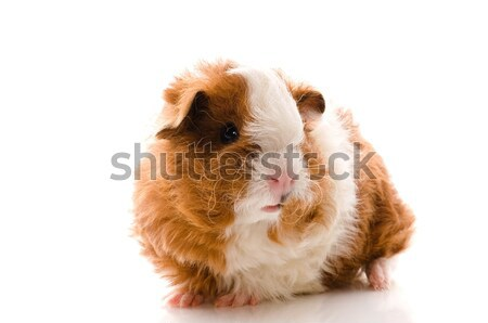 baby guinea pig. texel Stock photo © joannawnuk
