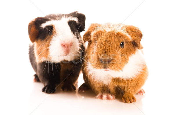 baby guinea pigs Stock photo © joannawnuk