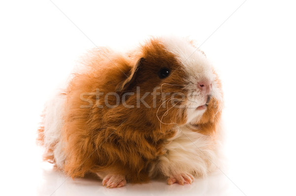 guinea pig isolated on the white background. texel Stock photo © joannawnuk