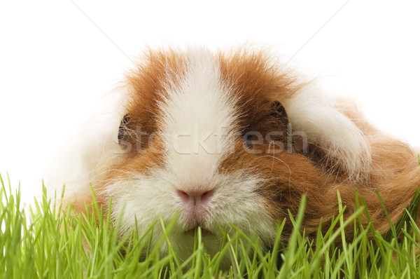 guinea pig isolated on the white background Stock photo © joannawnuk