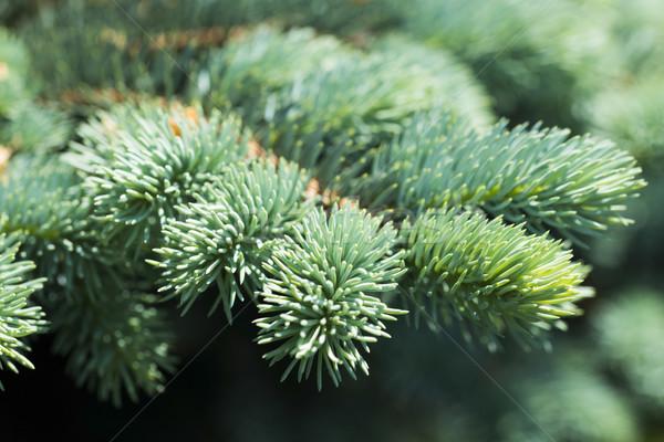 青 スプルース 緑 自然 小さな ストックフォト © joannawnuk