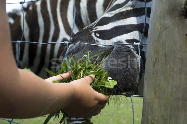 zebra, child and green grass Stock photo © joannawnuk