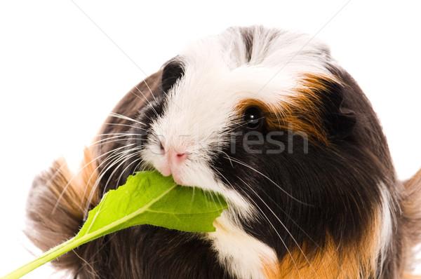 guinea pig isolated on the white background. coronet Stock photo © joannawnuk