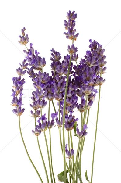 lavender Stock photo © joannawnuk