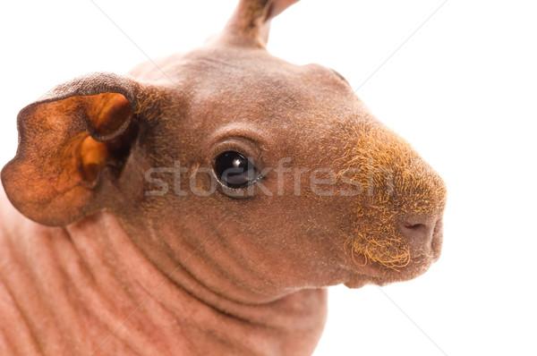 ストックフォト: スキニー · モルモット · 白 · 動物 · 耳 · ピンク