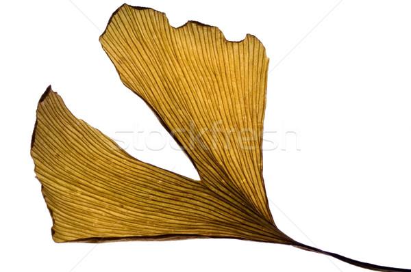 herbs - dried gingko biloba leaf Stock photo © joannawnuk