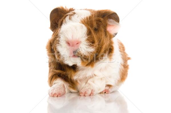 Kobay arka plan domuz komik genç Stok fotoğraf © joannawnuk