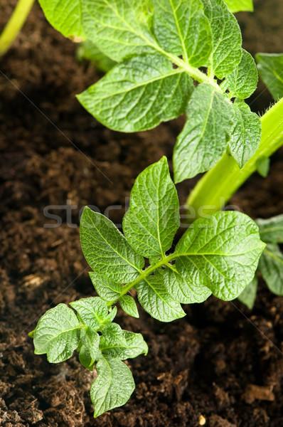 growing potato. baby plant in soil  Stock photo © joannawnuk