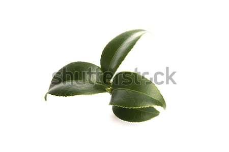 Friss tea levelek fehér levél italok Stock fotó © joannawnuk