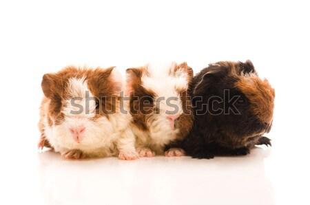 ストックフォト: 赤ちゃん · ギニア · 豚 · 背景 · 赤 · 豚
