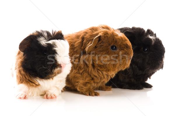 ストックフォト: 赤ちゃん · ギニア · 豚 · 背景 · 豚 · 面白い