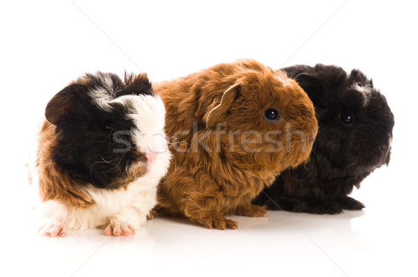 baby guinea pigs Stock photo © joannawnuk