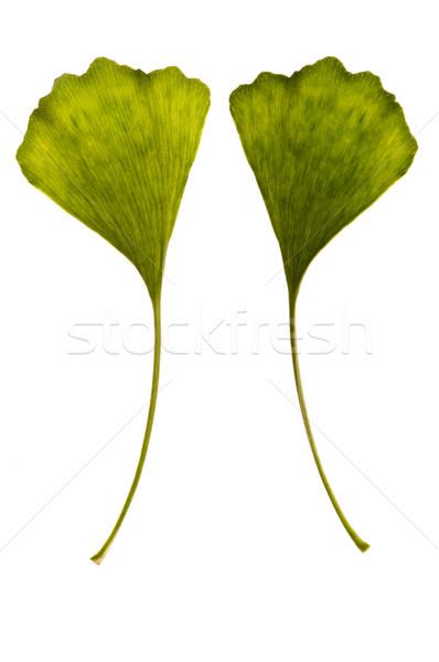 ginkgo biloba. one leaf - two sides Stock photo © joannawnuk